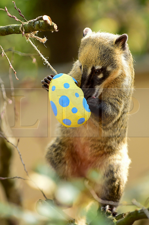 © Licensed to London News Pictures. 18/04/2019. LONDON, UK.  Colourful papier-mâché eggs filled with tasty treats are offered to ring-tailed coatis at ZSL London Zoo in the run up to Easter.  Photo credit: Stephen Chung/LNP