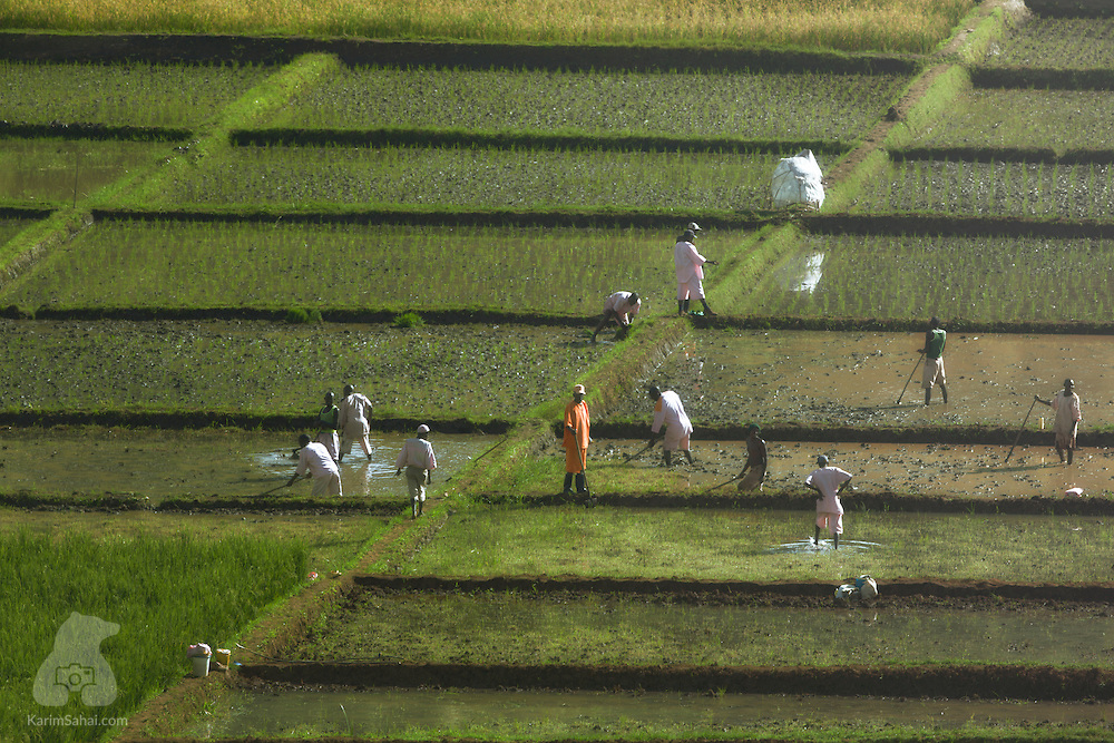 Prisoners working in a rice paddy, Huye, Rwanda.