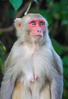 Rhesus Macaque (Macaca mulatta), Bardia National Park, Nepal