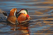 Mandarin duck image captured in Colorado.  The species was once widespread in eastern Asia, but destruction in habitat and large-scale exports have diminished their numbers.  Several of these ducks escape captivity in the United States, resulting in isolated populations.