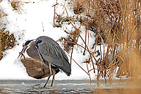 A Great Blue Heron with his latest catch!