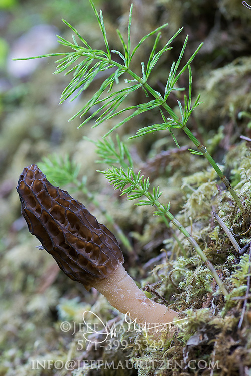 A Morel mushroom in the forest on Graham island, British Columbia, Canada.
