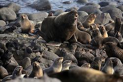 USA ALASKA ST PAUL ISLAND 9JUL12 - A male Northern Fur Seal (Callrhinus ursinus) and his harem breed at the Reef Point rookery on the island of St. Paul in the Bering Sea, Alaska.....Photo by Jiri Rezac / Greenpeace....© Jiri Rezac / Greenpeace
