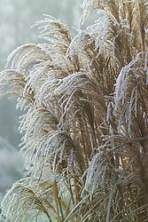 Hoar frost on Miscanthus sacchariflorus robustus