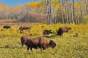 Plains bison (Bison bison bison)  is the largest land animal in North America. Fescue prairie burn.<br />Riding Mountain National Park<br />Manitoba<br />Canada