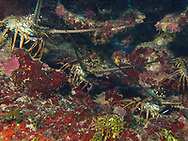 lobster family