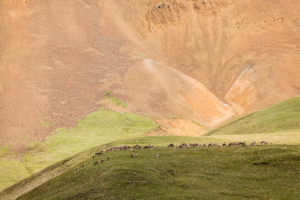Herd of caribou (Rangifer tarandus) foraging on a mountainside at Highway Pass in Denali National Park in Southcentral Alaska. Summer. Morning.