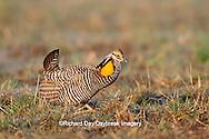 00842-03613 Greater Prairie-Chicken (Tympanuchus cupido) male booming/displaying on lek Prairie Ridge State Natural Area Jasper Co, IL