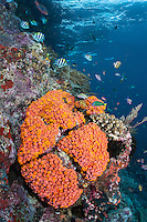 Colorful Reef Fish and Orange Cup Coral<br /> <br /> Shot in Indonesia