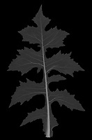 X-ray image of a tall blue lettuce leaf (Lactuca biennis, white on black) by Jim Wehtje, specialist in x-ray art and design images.
