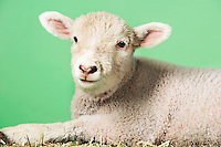 Lamb on green background