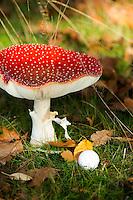 LOCHEM - Paddestoelen (vliegenzwam), rood met witte stippen. Herfst op de Lochemse Golfclub, De Graafschap. COPYRIGHT KOEN SUYK