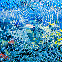 In The Bahamas a variety of tropical reef fish are confined in a fish trap. Unwanted species will be discarded, likely dead. Due to the depth of this trap the fishes swim bladders will kill them as they are hauled to the surface.