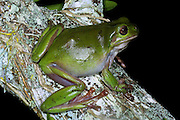 green treefrog, (Litoria caerulea),kuranda, north queensland