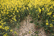 Dried earth of rape seed field at time of drought, Wyck Rissington, The Cotswolds, Gloucestershire, United Kingdom RESERVED USE - NOT FOR DOWNLOAD -  FOR USE CONTACT TIM GRAHAM