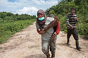 """Conservationists return three rescued orangutans to freedom in the rainforest but warn of increasing threats to the species' survival<br /> <br /> Three orangutans have been rescued and released into a national park in West Kalimantan after being driven out of the forest by massive land clearance operations to make way for agricultural plantations. News of the orangutans' translocation has been released with a strong message about increasing threats to the survival of the Critically Endangered species.<br /> <br /> A team from International Animal Rescue (IAR) Indonesia joined with Gunung Palung National Park (GPNP) and members of the BKSDA (Conservation of Natural Resources) in West Kalimantan to release the three orangutans (Pongo pygmaeus.)<br /> <br /> The orangutans were named Brown, Kokom, and Zola. Zola was rescued by IAR's team and the local Forest Department on 30 January this year.  Brown was rescued on 27 December 2016 from a village not far from IAR's rescue centre in Sungai Awan, Ketapang and female Kokom was rescued on 30 November from a rubber plantation owned by residents in Sumber Priangan Village, Nanga Tayap District. She was found with a rope around her neck, suggesting she had been kept in captivity, perhaps as a pet, and then set free.<br /> <br /> Zola was rescued from a pineapple plantation owned by residents in the village of Merbau, in Ketapang. The adult male weighing about 60 kg was captured by IAR's team after damaging hundreds of the villagers' pineapple plants. The pineapple orchard is adjacent to an area of land currently being cleared. Zola had apparently been driven out of his habitat by the land clearing activities and entered the pineapple plantation in search of food.<br /> <br /> The three rescues indicate that the orangutans' habitat is being increasingly squeezed by massive forest clearance for industrial-scale agricultural plantations. <br /> <br /> Karmele Llano Sanchez, Programme Director of IAR Indonesia, said: """"Orangutans"""