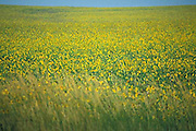 Sunflower field, eastern plains, Colorado