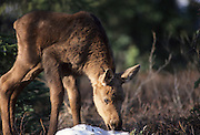 Moose Calf, Calf, Young moose, baby moose, Moose, Denali National Park, Alaska