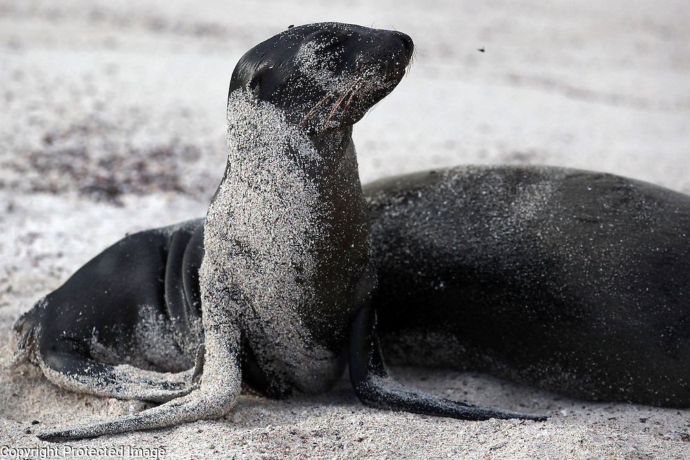 A baby sea lion lis photographed on Espanola Island in the Galapagos.