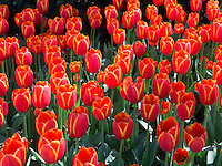 Toronto Double tulips in bloom, Cheekwood Gardens, Nashville, Tennessee