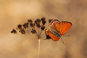 Fiery Copper (Thersamonia thersamon) butterfly. Photographed in Israel in July