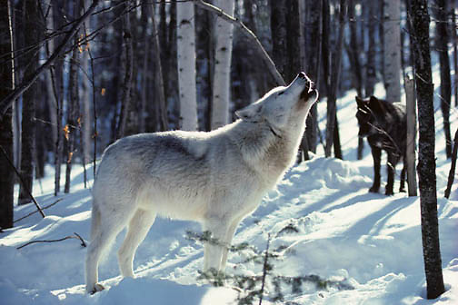 Gray Wolf, (Canis lupus) Alpha male howling in timber. Subordin ate female stands nearby.  Captive Animal.