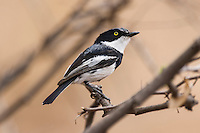 Male Pririt Batis, Rooipoort Nature Reserve, Northern Cape, South Africa