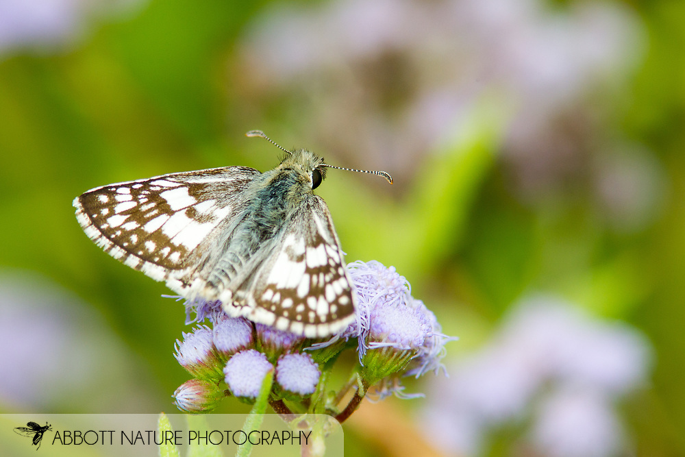 Common Checkered/White Checkered-Skipper (Pyrgus communis or albescens)<br /> TEXAS: Starr Co.<br /> Falcon State Park<br /> 7-Nov-2014<br /> J.C. Abbott &amp; K.K. Abbott