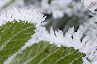 hoar frost around the edge of bramble leaves