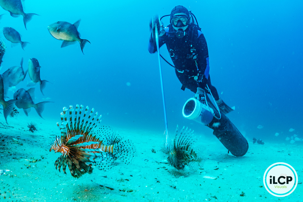 A marine biologist spears red lionfish (Pterois volitans) which are considered the worst invasive species case in human history. Native to the Indian and Pacific oceans they were first spotted in the Atlantic in the 1980's. By the early 2000's they had spread like a virus through the tropcial Caribbean wreaking havoc on native fish species and ecosystems.Image made off Destin, Florida.