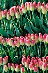 North America, USA, Washington, Skagit Valley. Pink tulips