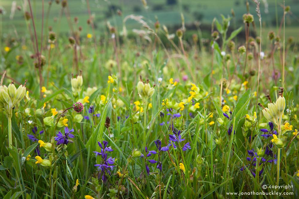 Field with yellow rattle, grasses and common milkwort.  Rhinanthus minor, Polygala vulgaris