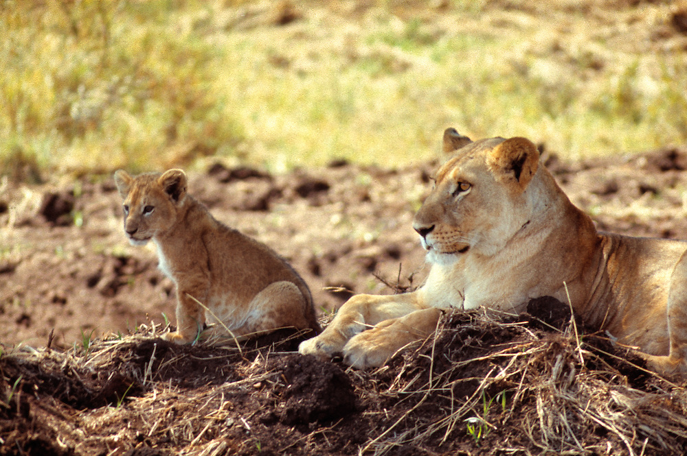 A stately lioness relaxes with her cub in Serengeti National Park, Tanzania.