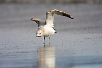 Mew Gull (Larus canus),  Point Reyes National Seashore, California, USA