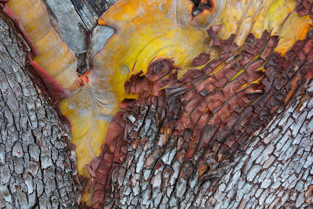 A wide range of colors are visible in the weathered bark of a Pacific Madrone (Arbutus menziesii) tree in San Juan County Park on San Juan Island, Washington. Pacific Madrone trees, are also known as madrona and arbutus trees, and have paper-thin orange-red bark that peels away as they mature.