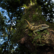 Khao Nan Long-headed Lizard (Pseudocalotes khaonanensis) in Namtok Yong national park, Thailand