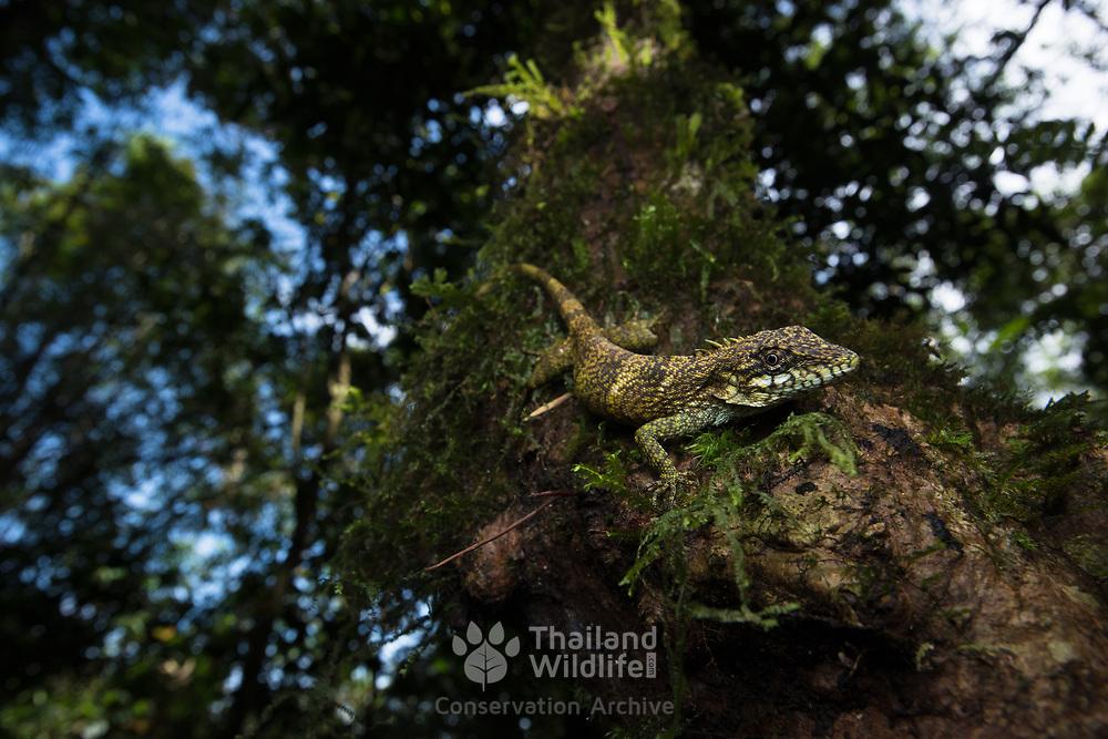 Khao Nan Long-headed Lizard (Pseudocalotes khaonanensis) in Namtok Yong national park, Thailand