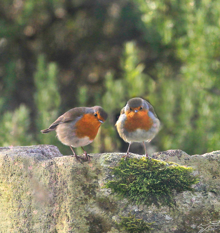 A collage depicting two Robins with some heart bokeh