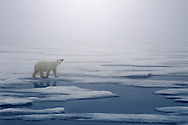 Svalbard's polar bears will look for seals in all weather. Sniff, walk, wait, attack, eat, rest. That's the plan!