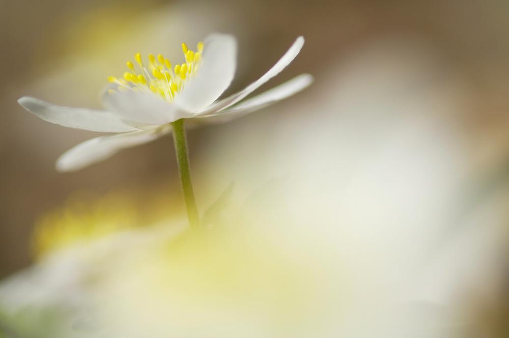 Wood anemone, Anemone nemorosa, Sweden