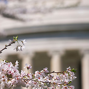 Pink cherry blossoms on branch in front of Jefferson Memorial during the Annual Cherry Blossom Festival in Washington DC, USA<br />