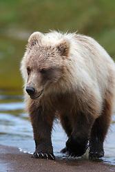 North American brown bear / coastal grizzly bear (Ursus arctos horribilis) cub crosses a stream, Lake Clark National Park, Alaska, United States of America