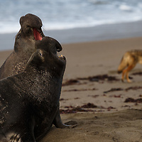 Coyote stalks an elephant seal rookery in Piedras Blancas, California
