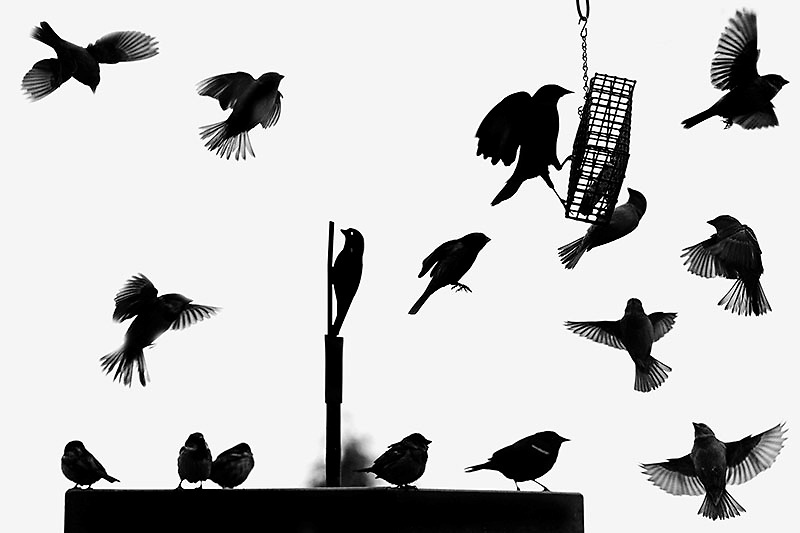 BENJAMIN KRAIN- 3/22/2013<br /> A Red-winged Blackbird, center right, lands on a feeding cage next to an iron stencil bird cut-out amidst sparrows on a bird feeder at the Witt Stephens Jr. Central Arkansas Nature Center in Little Rock.
