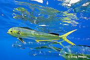 school of dorado, mahi-mahi, mahimahi, mahi mahi, or dolphin fish, Coryphaena hippurus, in offshore pelagic waters, off Kaiwi Point, Kona, Hawaii Island ( the Big Island ), U.S.A. ( Central Pacific Ocean )