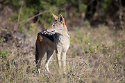 Black backed Jackal, Savuti Channel