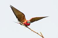 Carmine Bee-Eater taking to flight, Chobe River, Kasane, Botswana.