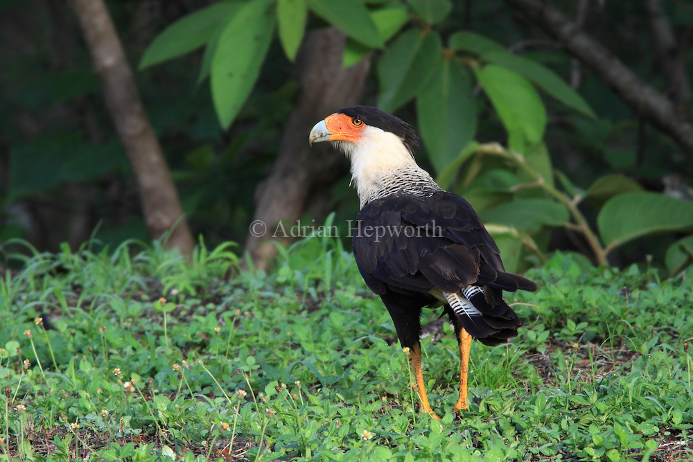 Adult Crested Caracara (Caracara cheriway) in tropical dry forest.  Conchal, Guanacaste, Costa Rica. <br /> <br /> For pricing click on ADD TO CART (above). We accept payments via PayPal.