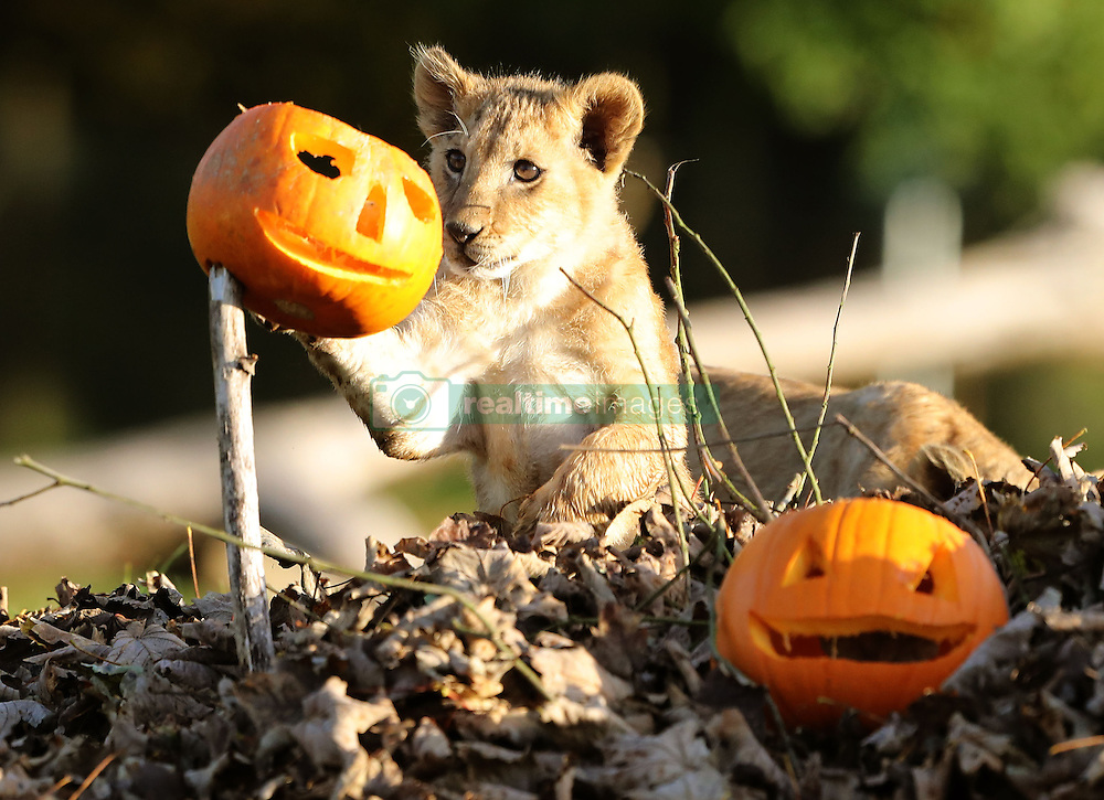 A lion cub plays with pumpkins at Blair Drummond Safari Park near Stirling, as keepers placed the treats in the enclosure ahead of the park's Halloween weekend.