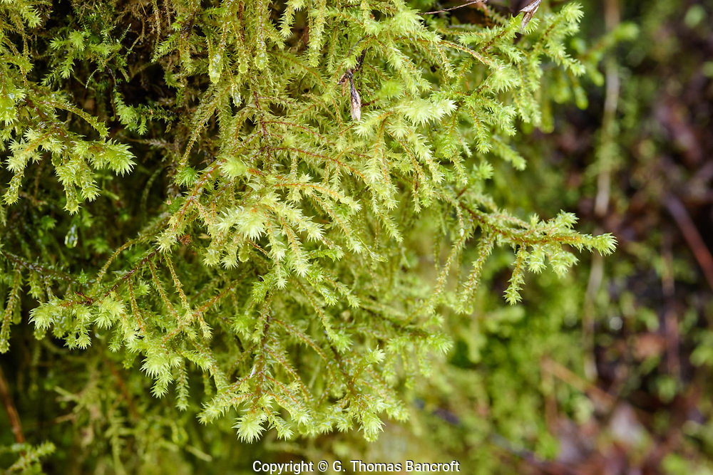 Rhytidiadelphus triquestrus -- Electrified Cat's-tail Moss